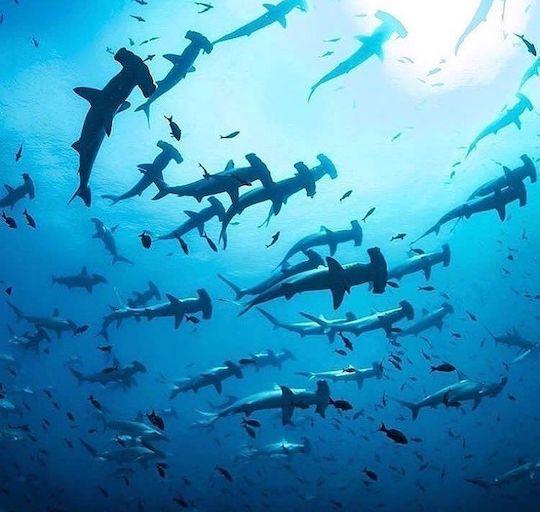 banda sea diving hammerhead