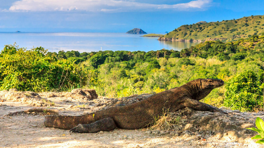 Komodo in komodo island